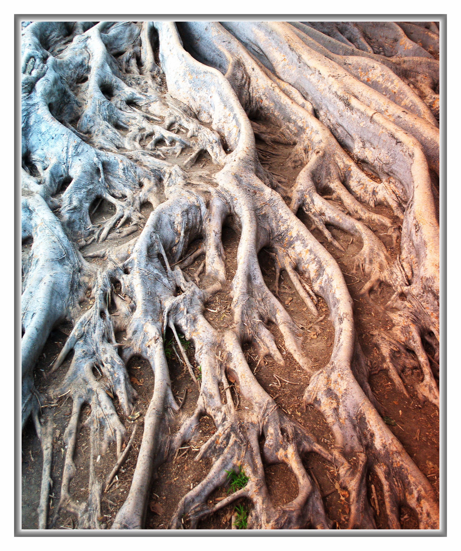 balboa park, san diego, tree roots balboa park