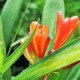 clivia, clivia bloom