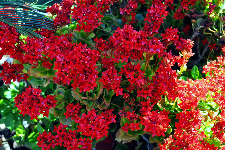 red flowers, blooming red flowers, blooming red flower succulent