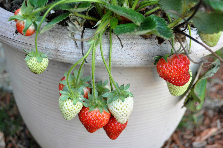 strawberries, blooming strawberries