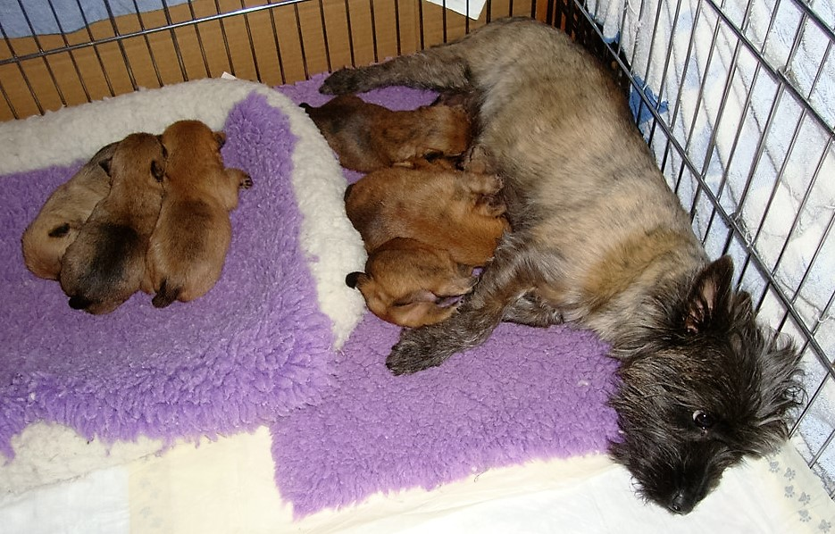 Cairn Terrier Puppies and Mom