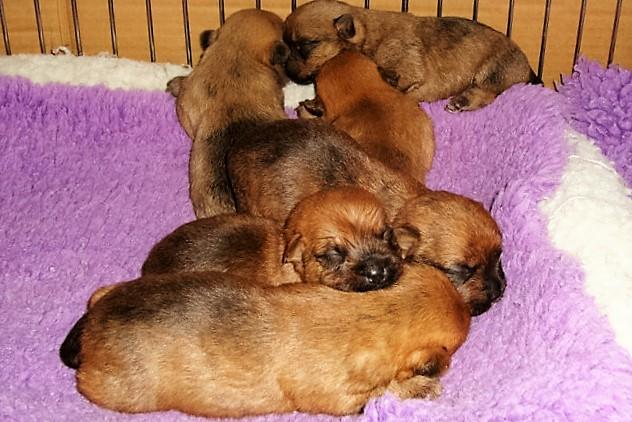 Cairn Terrier Puppy Pile