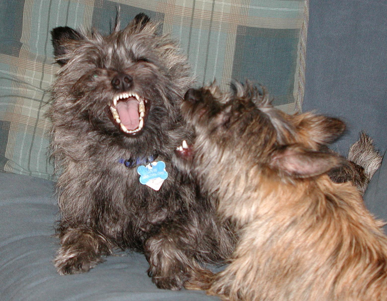 Cairn Terriers, Dog jaws
