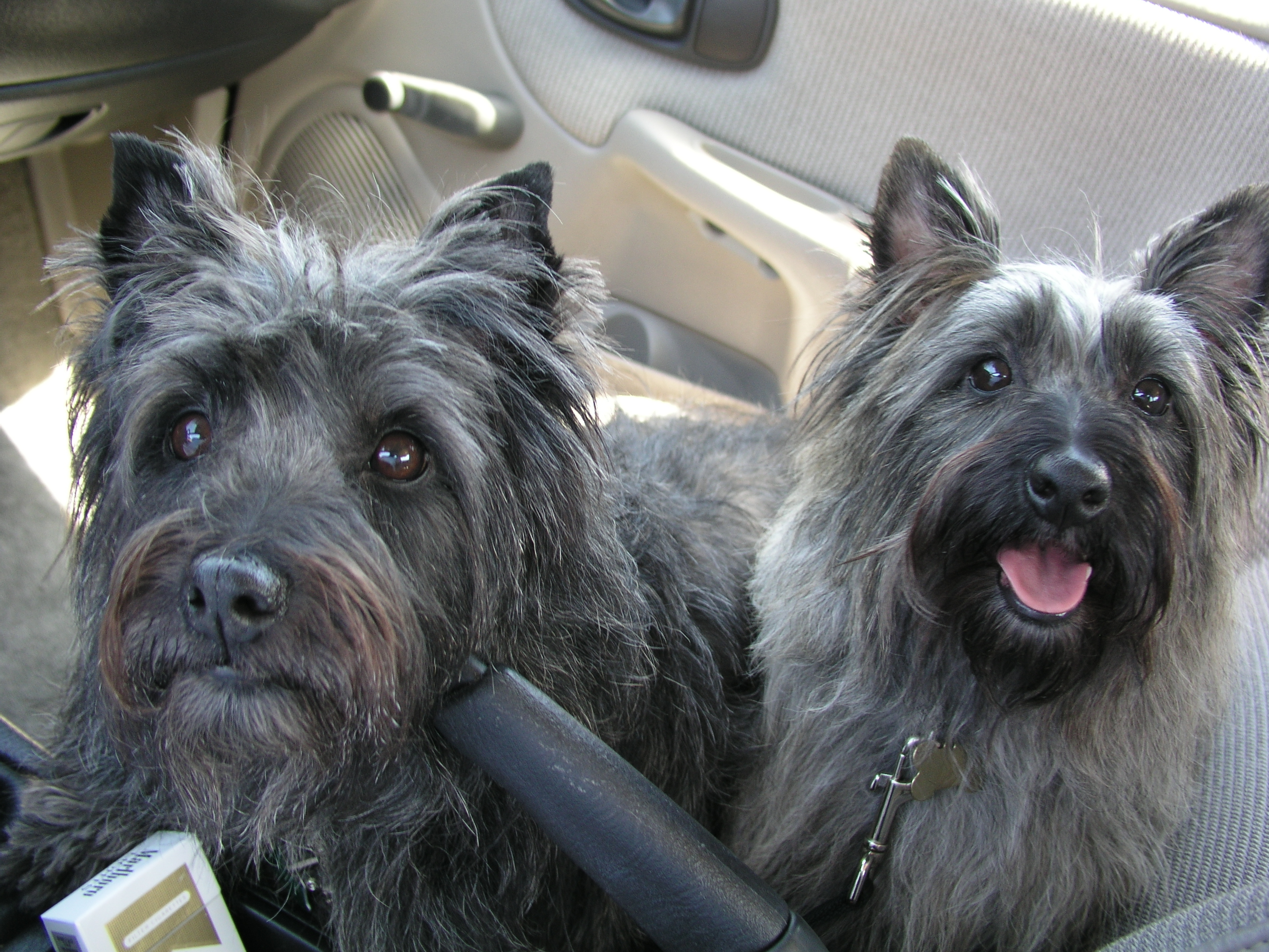 Cairn Terriers, dogs in car