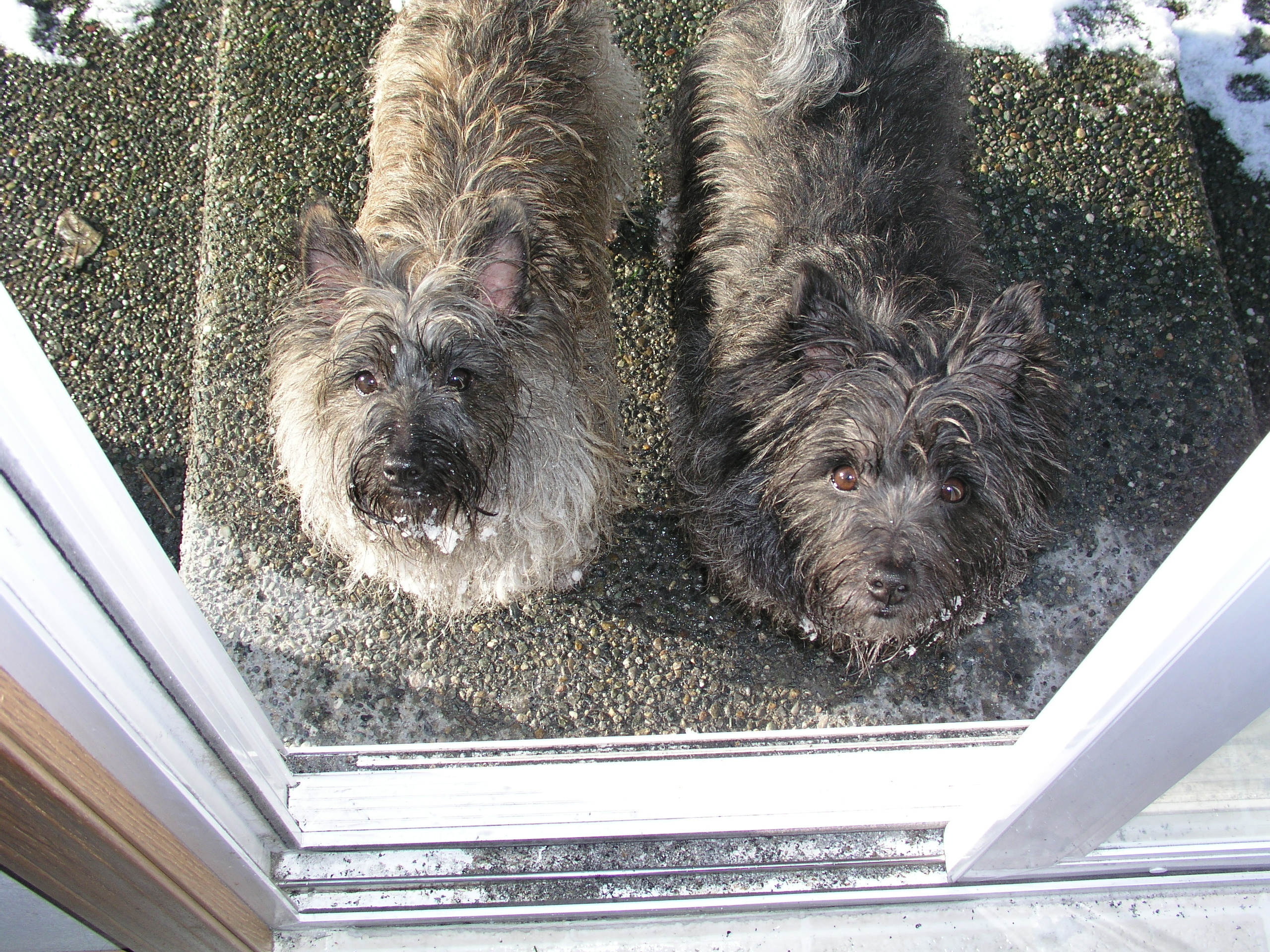 cairn terriers, dogs at door