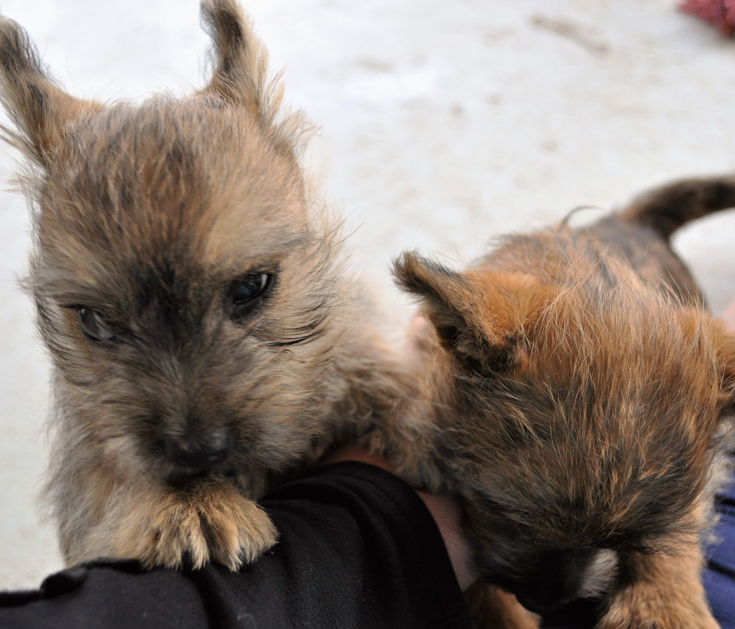 Cairn Puppies 2