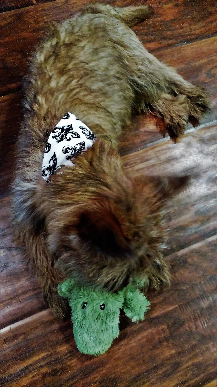 Dapper Dog July 2016 Jack Alligator