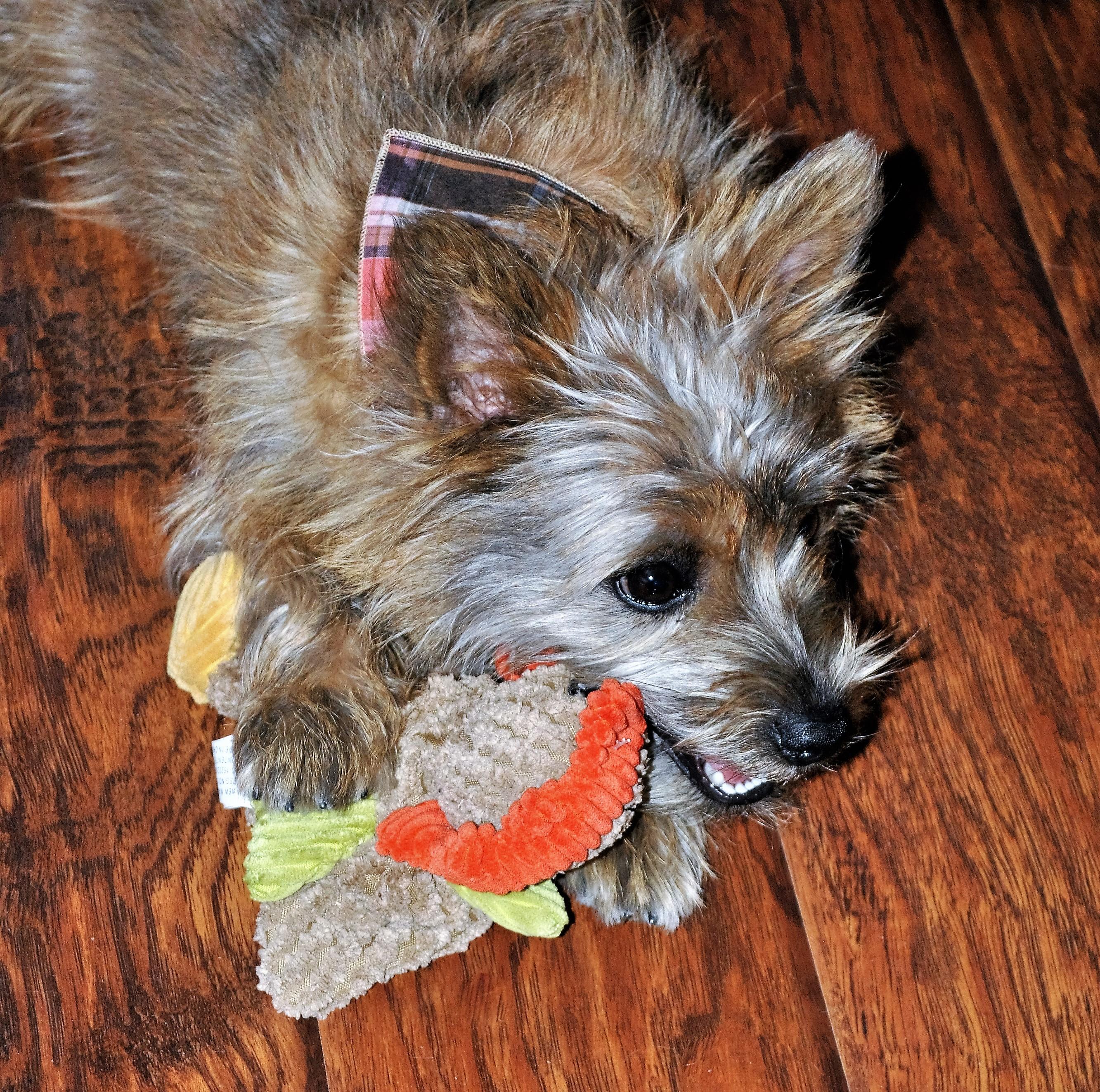 paw-pals-with-annie-november-2016-jack-turkey-1